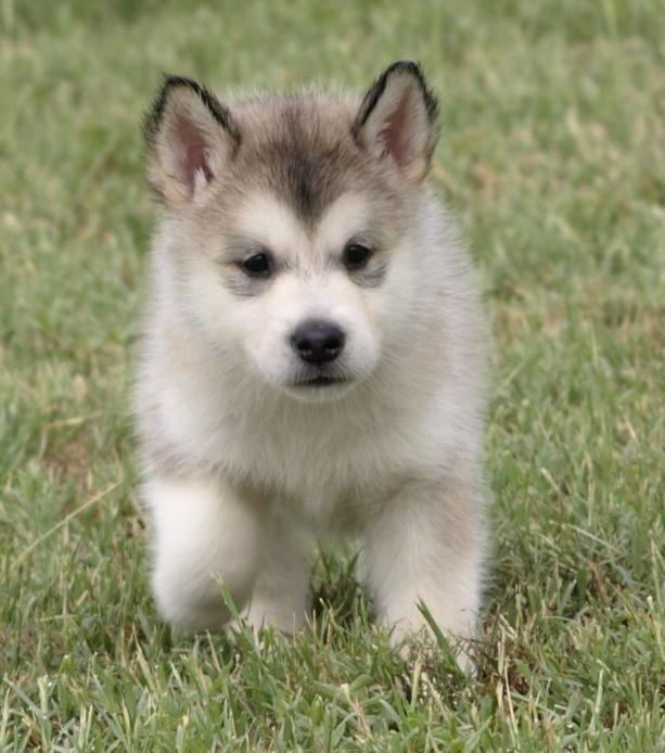 malamute puppies for sale , alaskan malamute breeder, malamute puppy -- want silver/white