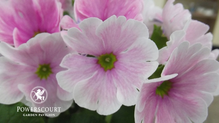 Primula ob. Pink This are delicate blooms ideal to enhance