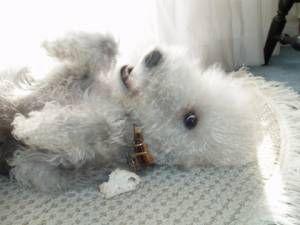 Bedlington Terrier dog named Nissa