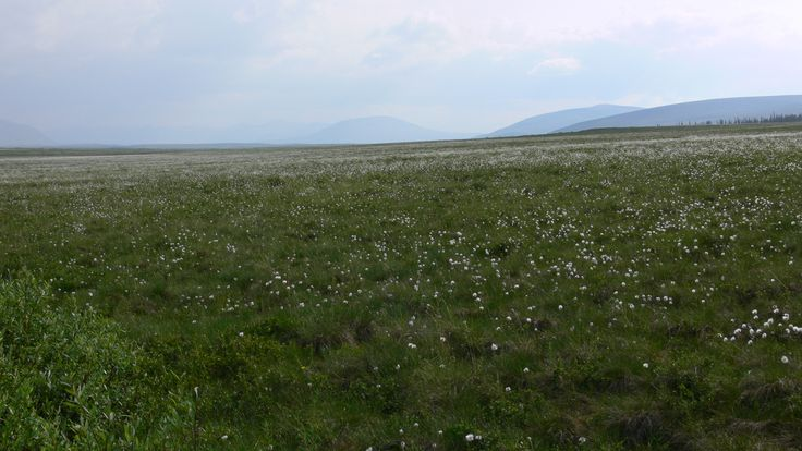 Dempster Highway -cotton plants