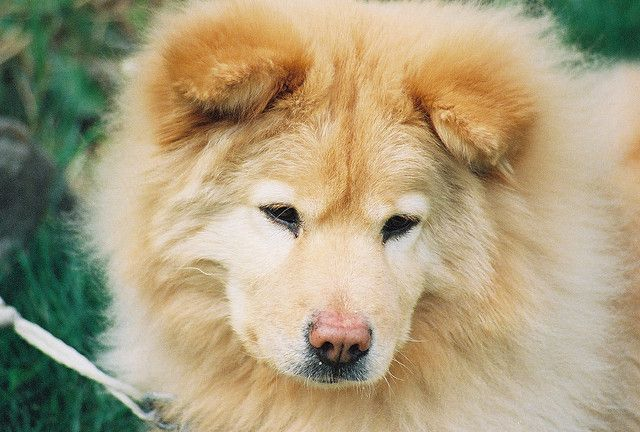 Chow Chow Golden Retriever mix....literally my two favorite dogs combined!