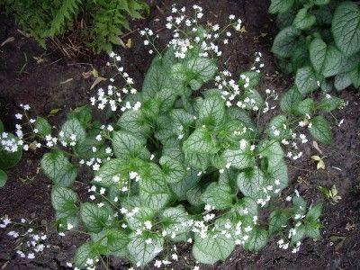 brunnera-macrophylla-mr-morse-plant