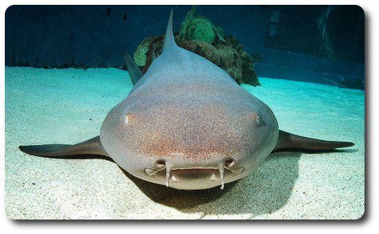 Nurse Shark Facts | Shark Breed Info | Types Of Sharks