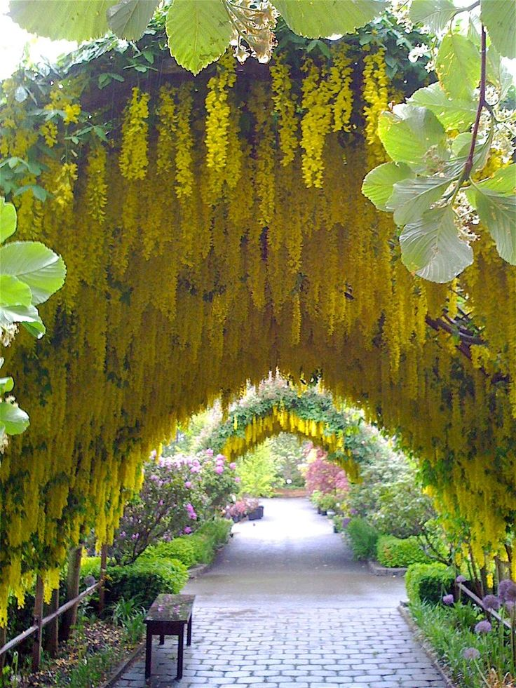 spring-blooming laburnum arch, underplanted with purple allium, Bayview Farm and Garden, Langley, Washington (north of Seattle) Beautiful