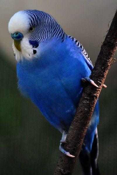 Pet Birds List In India Pet Birds Ari | birds | Birds ...