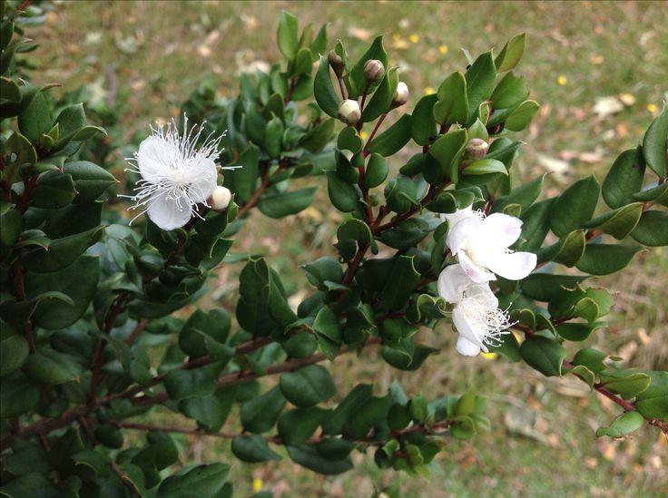 Flores de arrayán (Luma apiculata) en Candelaria - Pucon