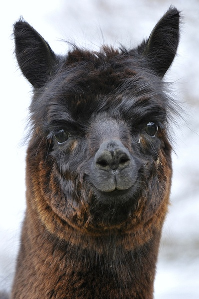 1000+ images about Alpacas & Llamas on Pinterest | Donkeys ...