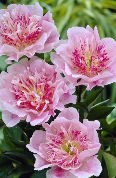 ~~Peony Do Tell | easy to grow, deer-resistant perennials that require a cool winter climate to satisfy dormancy requirements. this award-winning single is pale shell-pink with a darker center erupting with frilly deep rose, yellow and pinkish-white staminodes | John Scheepers~~