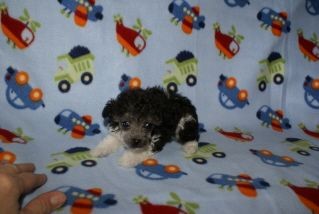 Toy Parti Poodles   Get Tiny Toy Poodles For Sale   803-222-0730