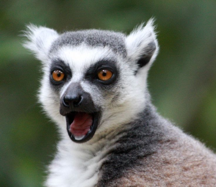 Ring Tailed Lemur at Monkeyland, Garden Route, South Africa - this was a great sanctuary where quite a number of varieties of monkeys roam free