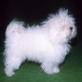 Named for the N.Italian city of Bologna, the Bolognese was once a favorite of nobility & have existed since 1200AD. Known also as the Bichon Bolognese, it goes back to Bichon types imported from S. Italy and Malta. Bolognese are now rare. They weigh 9 to 13 lbs.& have no undercoat. Although solid white some blond markings OK. Become very attached often following their loved one from room to room needing presence & attention. Keen eyesight & vivacious fearless nature make them capable…