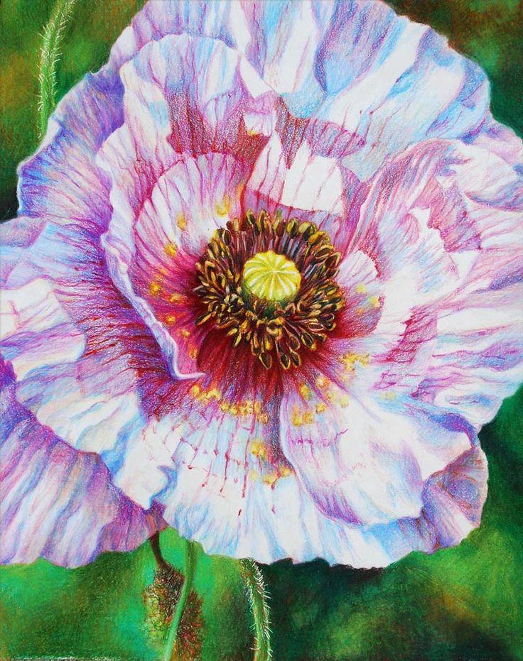 Veronica Winters - White Poppy (Colored Pencil)
