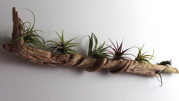 To make a similar decoration you need a piece of driftwood, hooks, nails and some air plants that don't need soil. Description from housedesignnewsworld.blogspot.com. I searched for this on bing.com/images