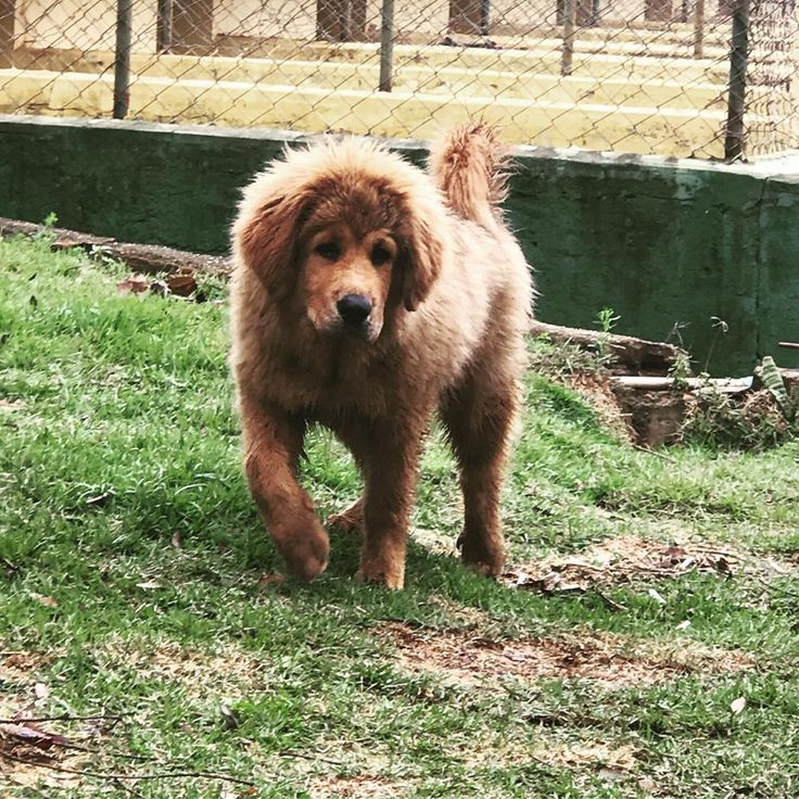 15 facts about tibetan mastiffs which will fascinate you