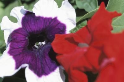 Petunias, the common name of flowers in the genus Petunia, are colorful and amiable plants that are often found in containers and hanging baskets.  Grown as annuals, these tender favorites rarely overwinter in the United States, but produce an impressive show of flowers  up to 4 inches wide, in a wide range of colors, from spring until a killing frost.  Petunias in hanging baskets require considerably more care than petunias planted in the garden, but if you spend time  with them daily…