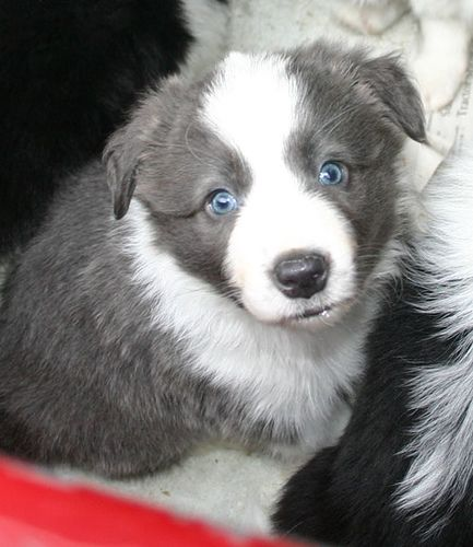 5-week-old border collie puppy