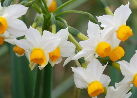 Flowering in autumn and early winter in the meadows around Elounda, Narcissus tazzeta