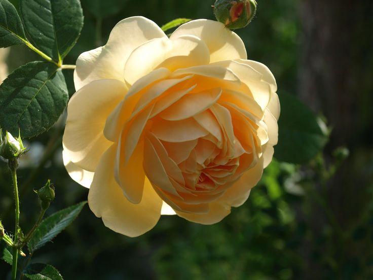 Růžová zahrada: Anglické růže Davida Austina