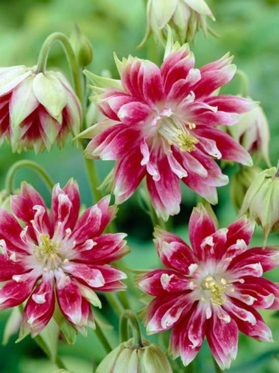 386 best flowers aquilegia columbine helleborus images on new double aquilegia which grows perpetual flowering from may to july with pink flowers that are tipped white mightylinksfo