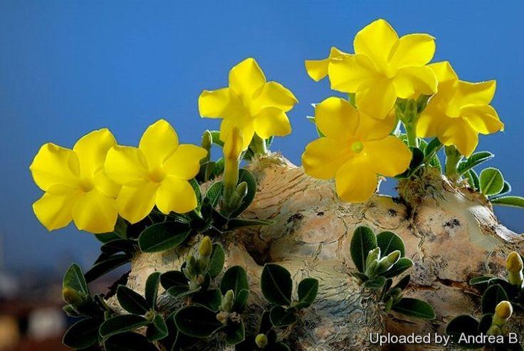 69 best images about Succ: Pachypodium on Pinterest | Los ...