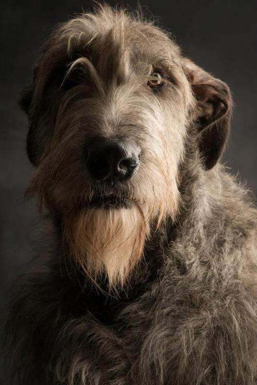 Elias the wolfhound