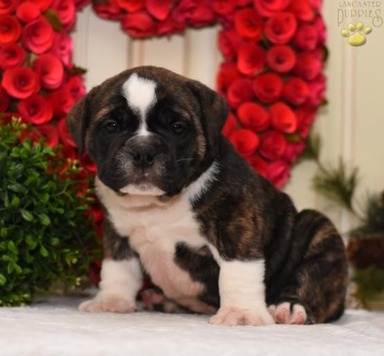 English Bulldog Puppies By Zoran Franicevic On English Bulldogs