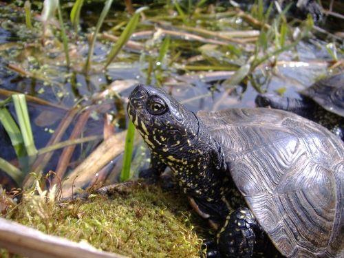 www.schildkroetenteiche.de - Haltung und Zucht der Europäischen Sumpfschildkröte - Emys orbicularis im Schildkrötenteich