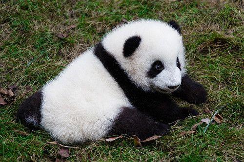 Панда-пупс