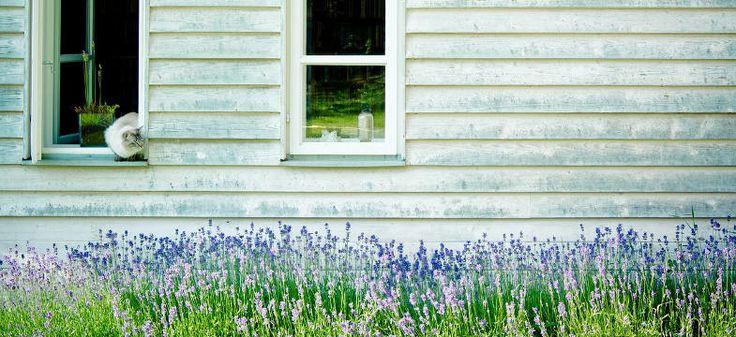 Lavendelarten: Garten, Balkon und Kübel