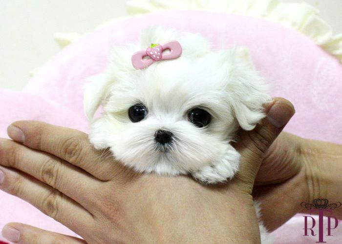 Sweet teacup puppy