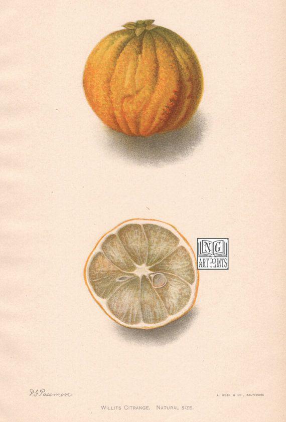 1900s Antique Fruit Print Orange Print Vintage by NGArtPrints