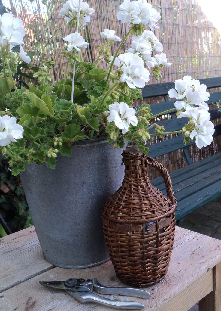 Muškát bílý - Pelargonium zonale white