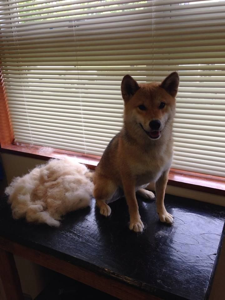Shiba Inu Standard Carding Groom That Removes 60 80 Of The Dead Hair That Produces All Of That Shedding Shiba Inu Canine Dead Hair