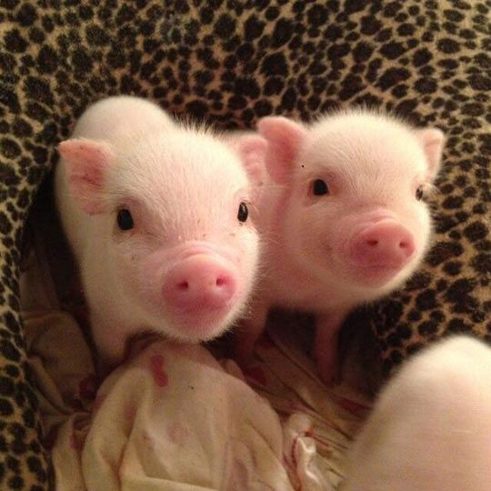 Two Tiny Piglets - Pigs are very active, traveling up to 30 miles a day at a quick pace.