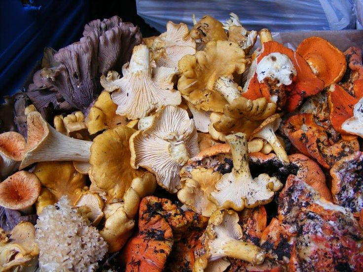 A short guide to fall mushroom hunting with descriptions of common edible mushroom species such as chanterelles and lobster mushrooms.
