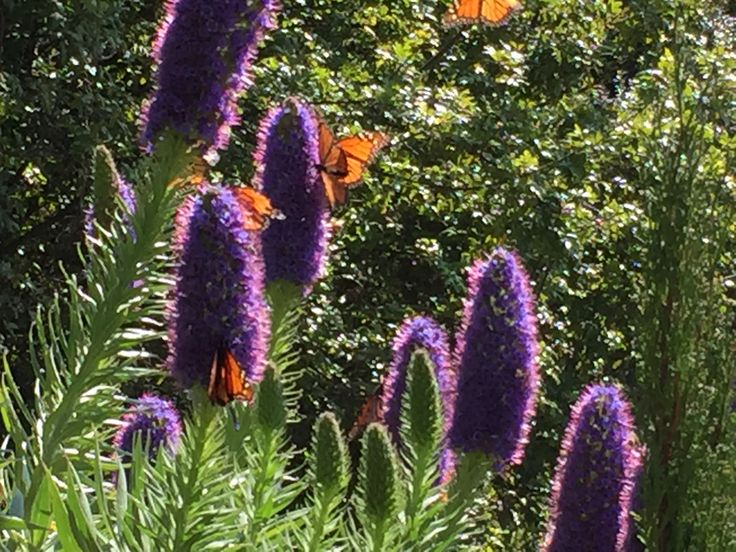 Echium candicans - much favoured by the Monach butterfly for its nectar.
