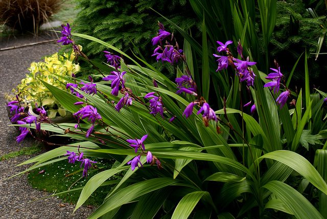 Bletilla striata - hardy ground orchid. Chines ground orchid.  One of the few orchids that does well as a garden plant.  Part shade.  Blooms April to May.
