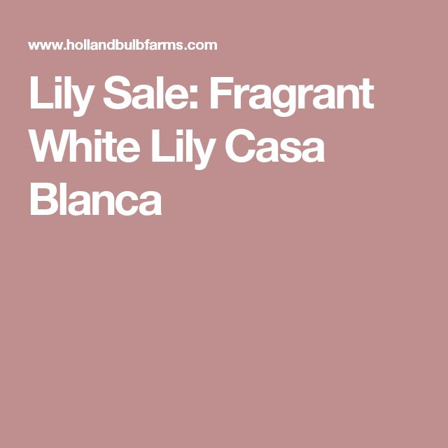 Lily Sale: Fragrant White Lily Casa Blanca