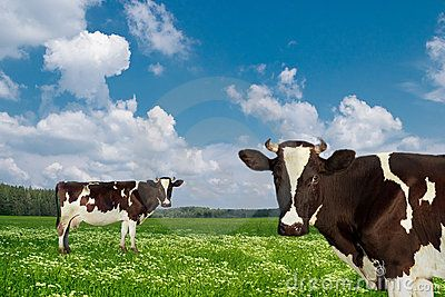 Dairy cows on a green meadow.
