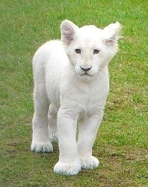 Beautiful baby white lion cub