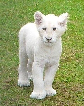 Beautiful baby white lion cub
