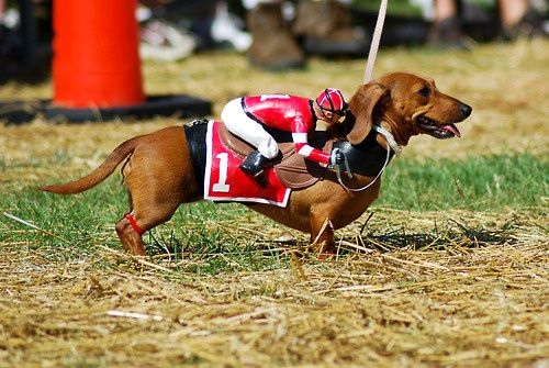 Racing wiener! Must get my dog one of these little passengers