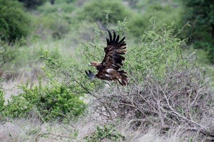 Trying to capture birds in flight is a difficult task for any photographer, however this juvenile Tawny Eagle provided the perfect photo opportunity for us here at Chisomo.