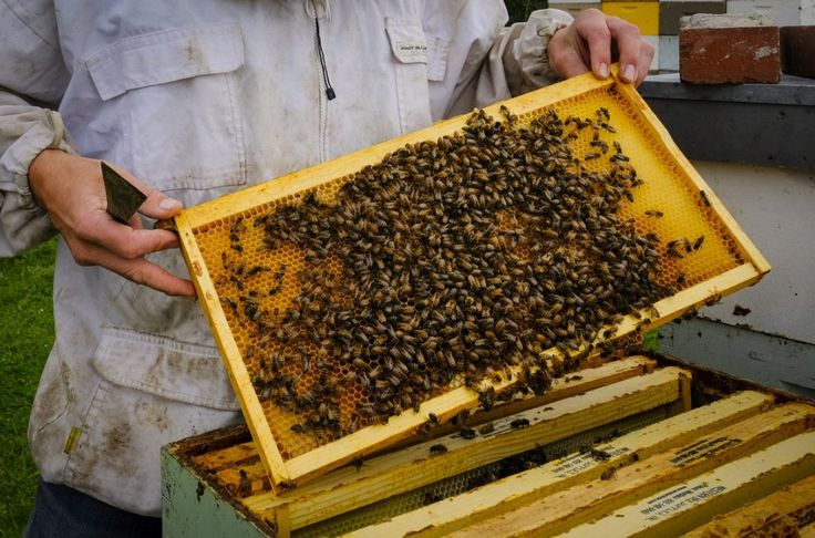 Canadian beekeepers suffer 50 per cent drop in honey prices: Some are blaming the devastating blow on a glut of cheaper, low-quality Chinese exports. (Toronto Star 06 September 2016)