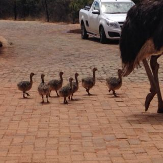 New #Ostrich family at Thaba Tshwene @Game Lodge