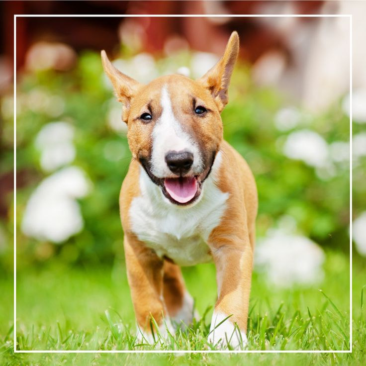 Petland Florida has Bull Terrier puppies for sale! Interested in finding out more about the Bull Terrier? Check out our breed information page!