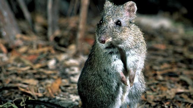 Ten extinct animals that have been rediscovered - Gilbert's Potoroo