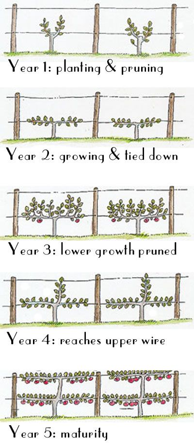 How to Espalier Fruit Trees ... one of the easiest ways to include fruit trees in a small space garden and maximise your yield. Fruit grows on horizontal branches, leaves grow on verticals! | The Micro Gardener