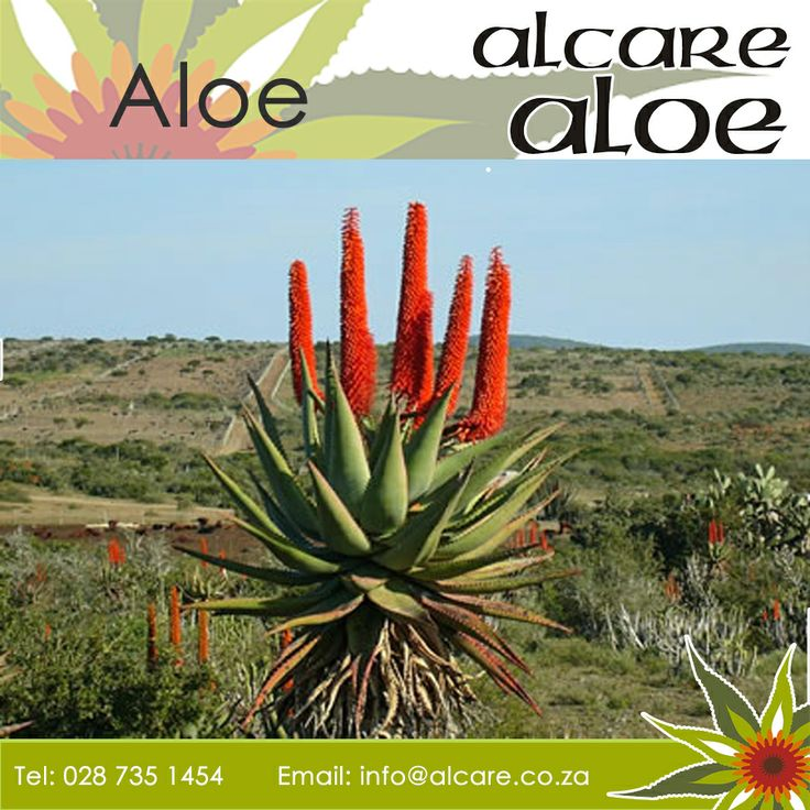 """Aloe, also written Aloë, is a genus  containing over 500 species  of flowering succulent plants. The most widely known species is Aloe vera, or """"true aloe"""", so called because, though probably extinct in the wild, it is cultivated as the standard source of so-called """"aloe vera"""" for assorted pharmaceutical purposes.  Click here to read more: http://on.fb.me/P4wQhl #aloe #information #uses"""