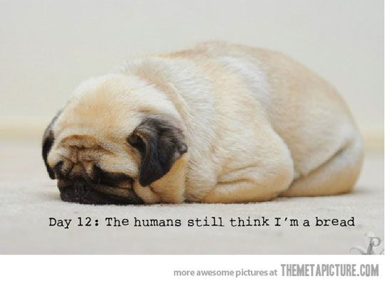 This pinner here has her own little pug/loaf of bread :)
